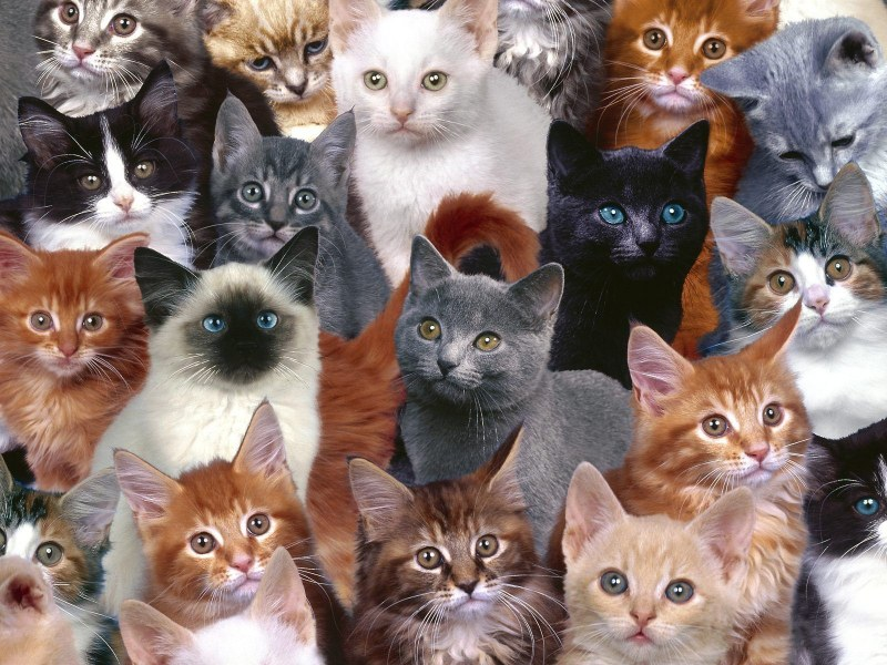 ТЕСТ — Какой тип кота Вам подходит?